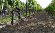 Domaine-de-la-poelerie-vignes