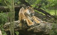 Tigre © Bioparc - P. Chabot