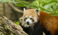 Panda roux © Bioparc - P. Chabot