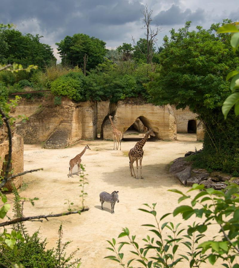 Camp girafes © Bioparc